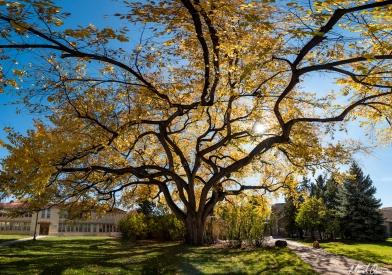 American Elm Autumn