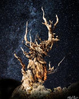 Bristlecone Pine Stars