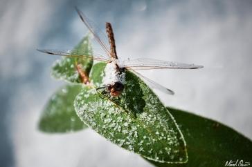 Frozen Dragonfly