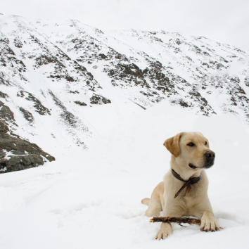High Elevation Yellow Lab