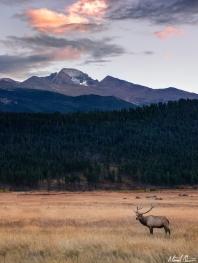 Longs Peak Bull Elk