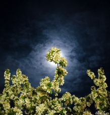 Moonlight Blossoms