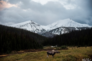 Mountain Moose