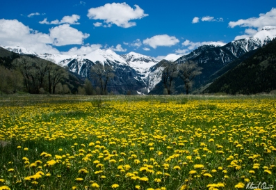 Telluride Dandelions