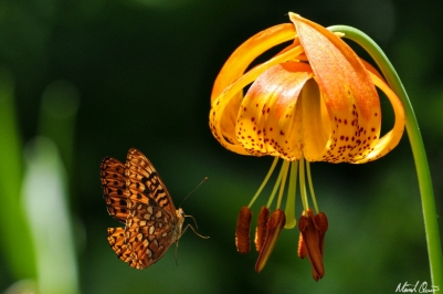 Tiger Lily Butterfly
