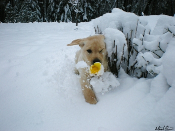 Yellow Lab Puppy Snow