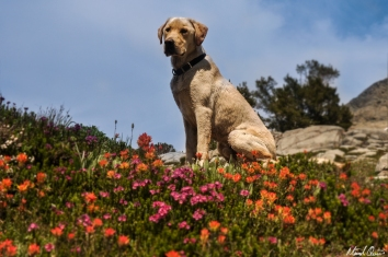 Yellow Lab Wildflowers