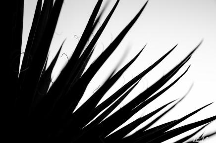 Desert Yucca