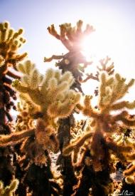 Joshua Tree Cholla Sunflare