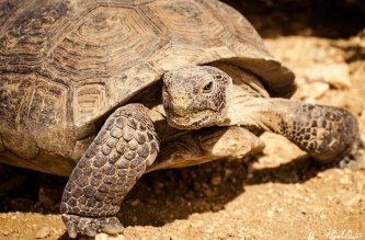 Joshua Tree Desert Tortoise