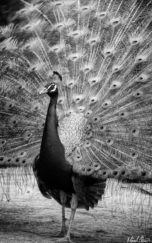 Seville Alcazar Peacock