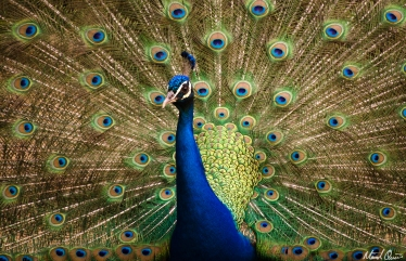 Seville Spain Alcazar Peacock