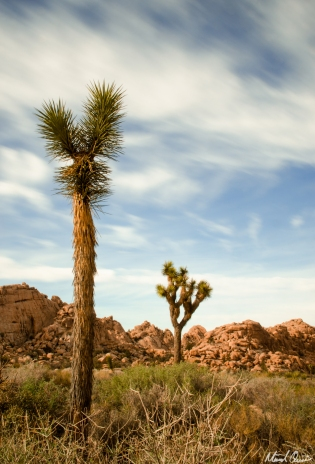 Young Joshua Tree